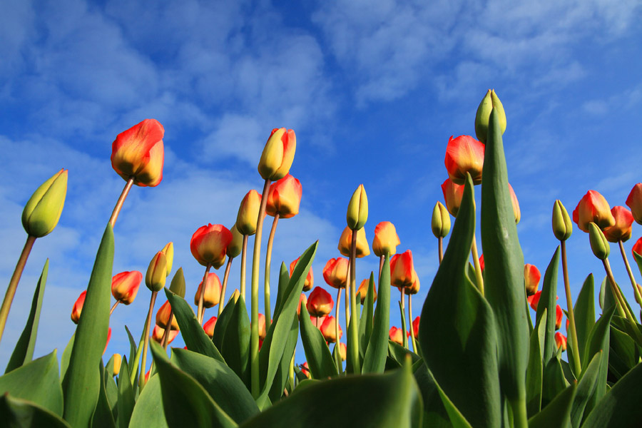 tulips-900x600